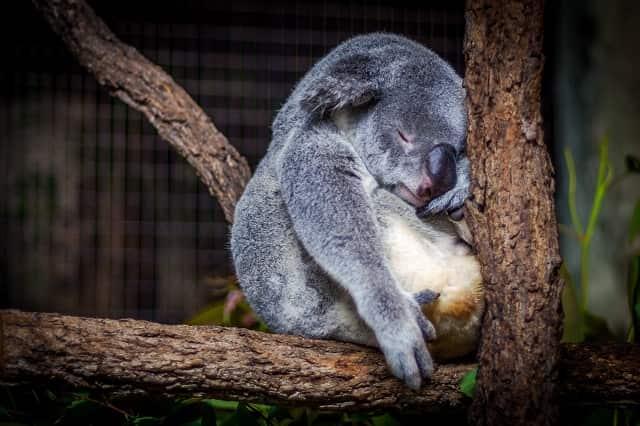 疲れたコアラ